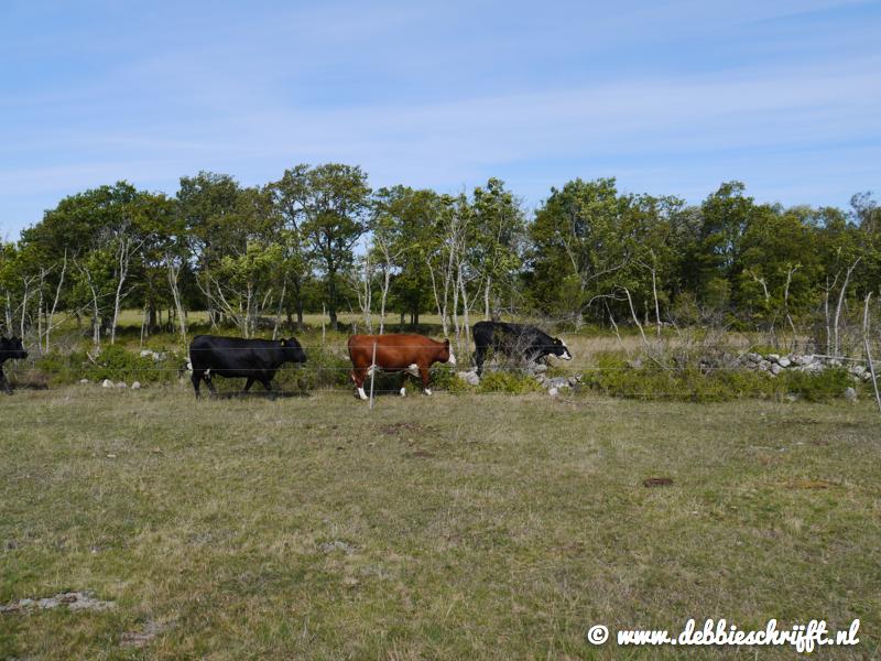 Koeien! In grote getalen te vinden op Öland. Meestal lopen ze vrij rond en zijn alleen de doorgaande wegen afgezet. Hier liepen ze samen terug naar de stal op gemolken te worden.
