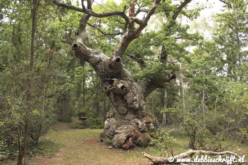 Trolleken, oftewel de trollenboom. Een mooie eik van ongeveer 500 jaar oud, die te vinden is in het Trollenbos op de noordoostelijke punt van Öland.