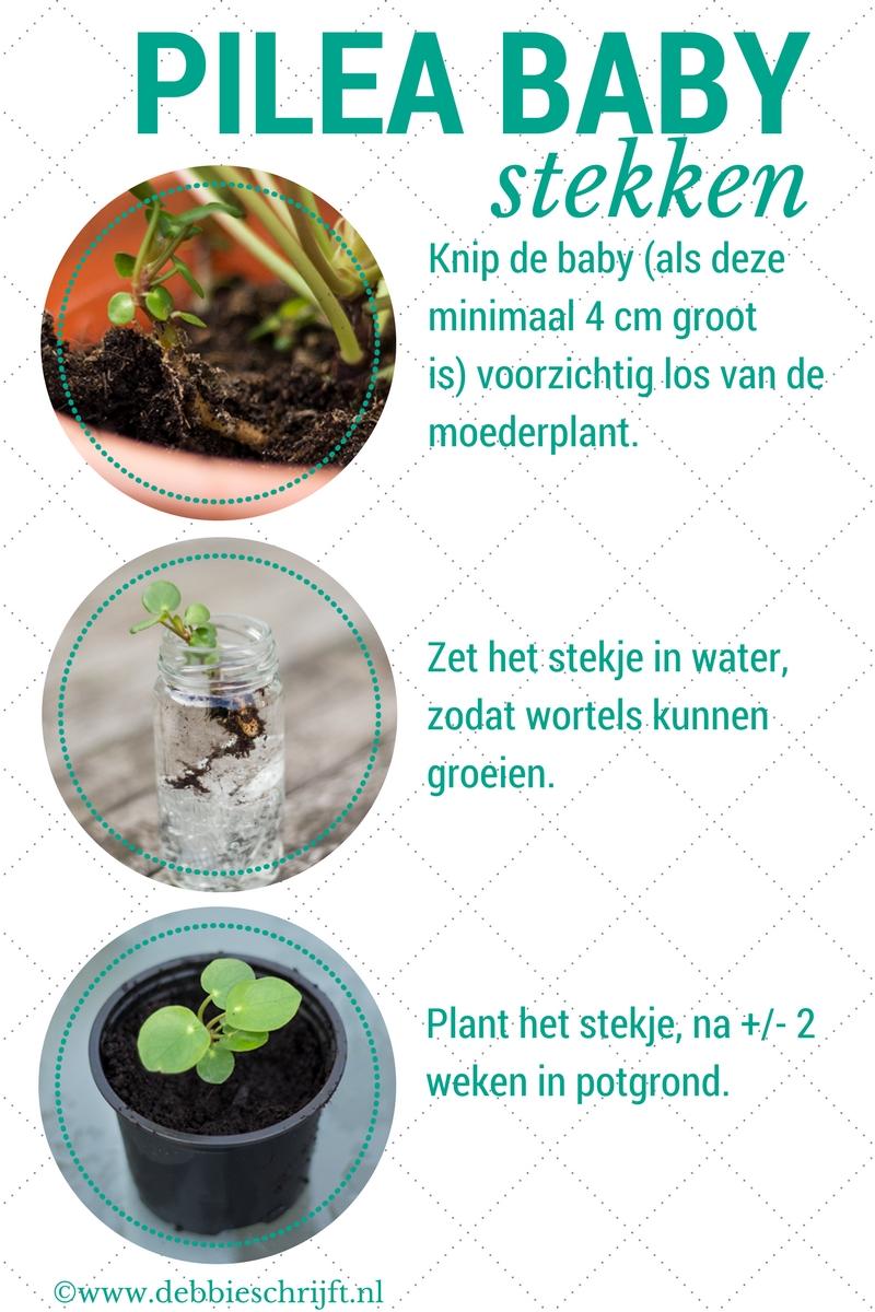 Hoe stek je een Pilea baby? -> stappenplan | ©debbieschrijft.nl