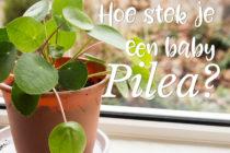 Hoe stek je een Pilea baby? | ©debbieschrijft.nl